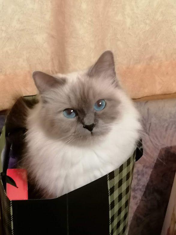 1. kategorija, samice: IC GR*Art of Feline Regina, JW